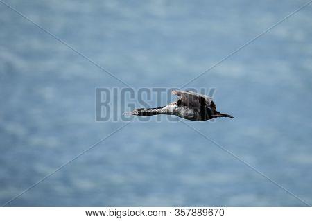 Spotted Shag (phalacrocorax Punctatus) In Flight, Taiaroa Head, Otago Peninsula, New Zealand. It Is