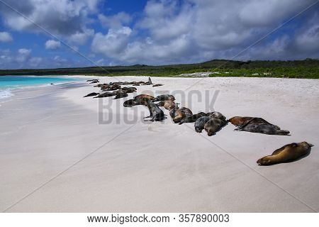 Group Of Galapagos Sea Lions Resting On Sandy Beach In Gardner Bay, Espanola Island, Galapagos Natio