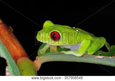 Red-eyed Treefrog (agalychnis Callidryas) From Costa Rica