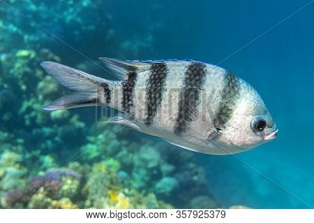 Scissortail Sergeant (major, Pintano, Abudefduf) In Blue Turquoise Water. Striped Indo-pacific Tropi