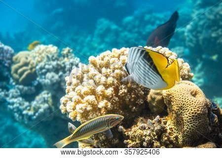 Butterfly Fish And Thalassoma Pavo Near Coral Reef In The Ocean. Threadfin Butterflyfish With Black,