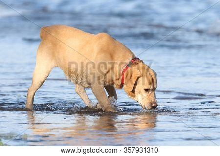 Labrador Retriever (canis Lupus Familiaris) Drinking Water From The River. Portrait Of A Yellow Dog