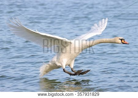 Mute Swan (cygnus Olor) Spreading Wings Wide Open And Landing On The River. Close Up Portrait Of Whi