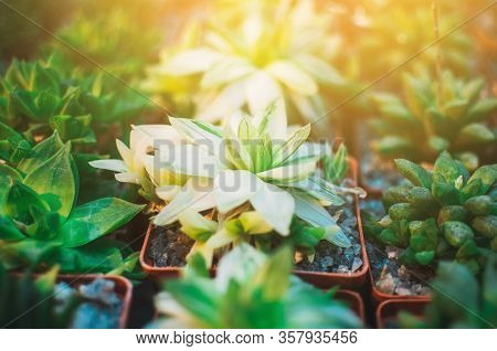 A Collection Of Succulents, Cacti, Echeveria Kalanchoe And Succulent House Plants. Succulents Are Gr