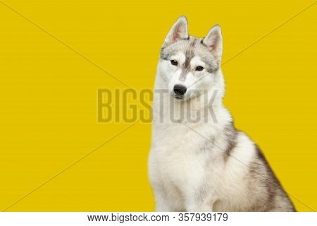 A Siberian Husky Dog Looks At The Camera Isolate On The Yellow Background. The Concept Of Veterinary