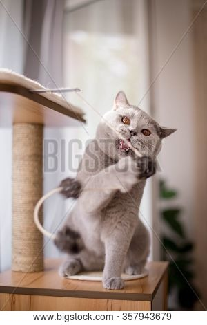 Blue British Shorthair Cat Plays With A Ball On A Rope On A Wooden House For Cats With A Claw-point.