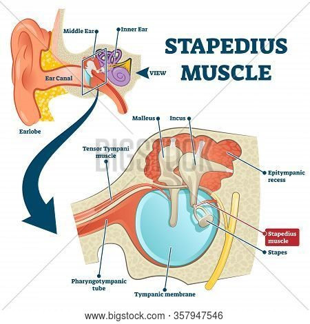 Stapedius Muscle Vector Illustration. Labeled Anatomical Ear Structure Scheme. Educational Graphic W