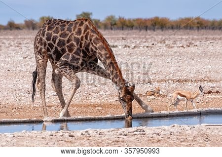 Drinking Giraffe With A Springbok And A Jackal In Etosha National Park, Namibia