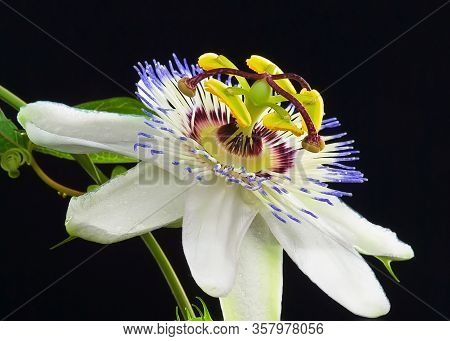Passiflora Flower On A Black Background. An Evergreen Vine With Large, Fantastic- Looking , Fragrant