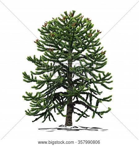 A Small Araucaria Tree (araucaria L.), A Colored Vector Image On A White Background