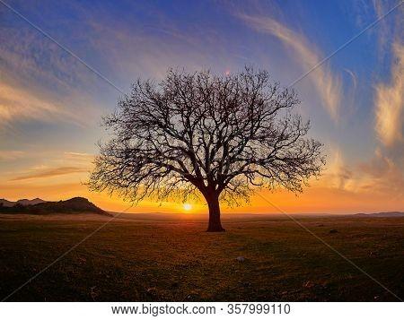 Beautiful oak tree  in rural landscape during summer sunset, Dobrogea, Romania