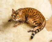 Orange and brown bengal kitten cat playing on a wool rug poster