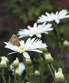 brown butterfly on white daisies growing in the garden poster