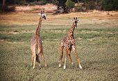 giraffe in luangwa national park zambia poster