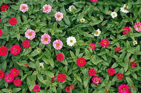 Flower Beautiful Background Of White And Pink Zinnias In The Summer Garden. The View From The Top