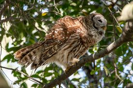 A Barred Owl In A Tree Fluffing Feathers..