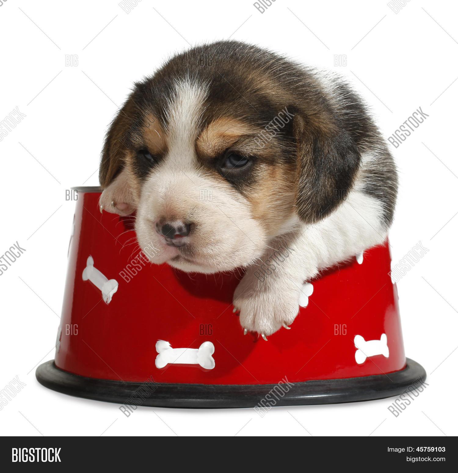 Beagle Puppy Red Dog Image Photo Free Trial Bigstock