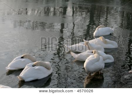 The flock of white swans sleeping on the dark water poster
