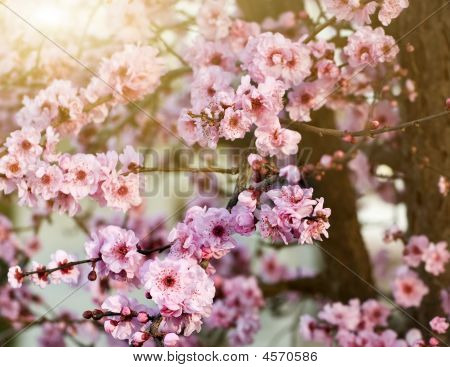 Spring Cherry Blossoms. Shallow Depth Of Field