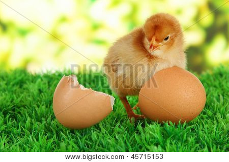 Little chicken with eggshell on grass on bright background