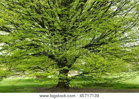 Fresh Hornbeam tree sprouting at spring poster