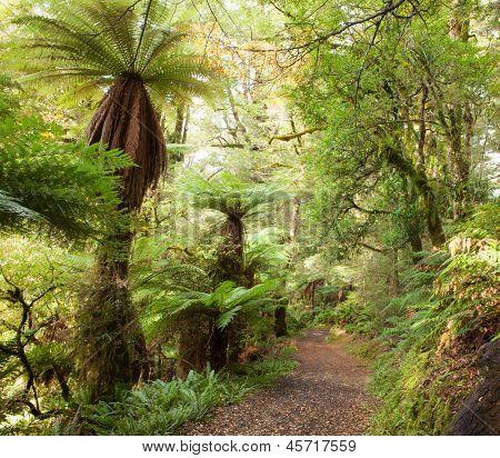 Te Urewera Treks.   Temperate rain forest with  Fern trees, Te Urewera National Park, North Island, New Zealand