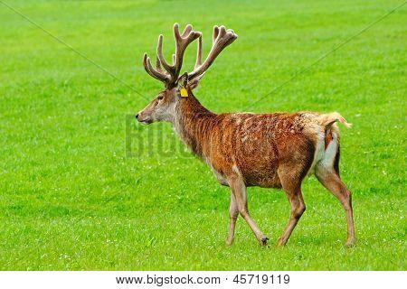 red deer stag Cervus elephus in velvet Westland New Zealand poster