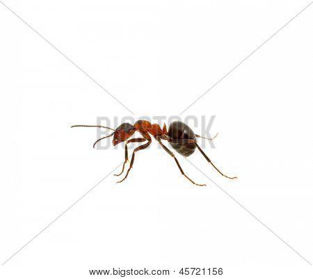 Ant isolated on white background
