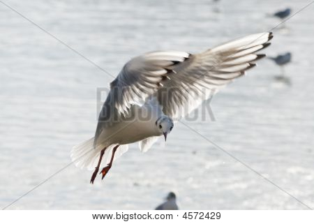 Flying Seagulle