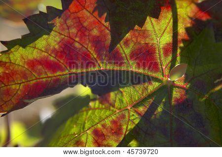 Grape leaves close up selective focus colorful poster