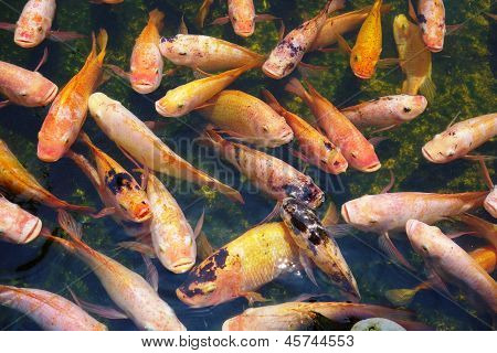 Big fishes of red color in a reservoir on a water surface poster