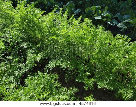 Carrots In A Garden