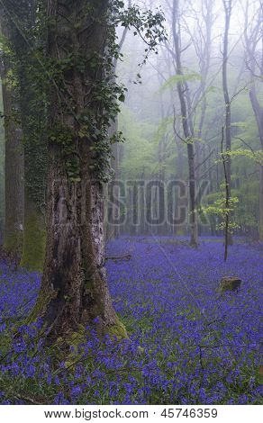 Beautiful carpet of bluebell flowers in misty Spring forest landscape poster
