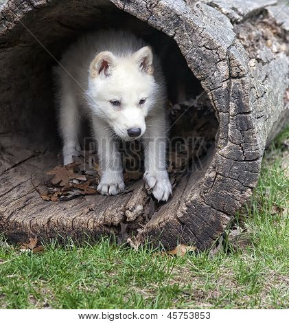 Arctic wolf pup seeks shelter in a hollowed log poster