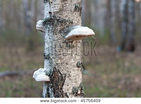 polypore mushrooms on birch stem