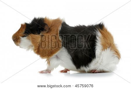 Crazy looking guinea pig pet rodent