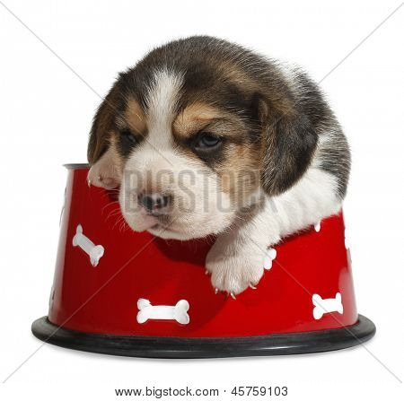 Beagle puppy in red dog bowl