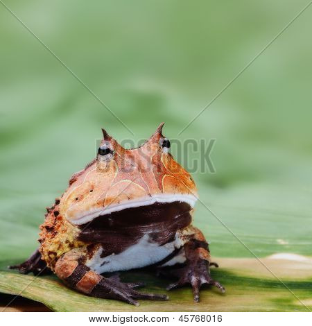 Pacman frog or toad, South American horned frogs Ceratophrys cornuta Tropical rain forest animal living in the Amazon rainforest of Brazil Suriname kept as exotic pet animal