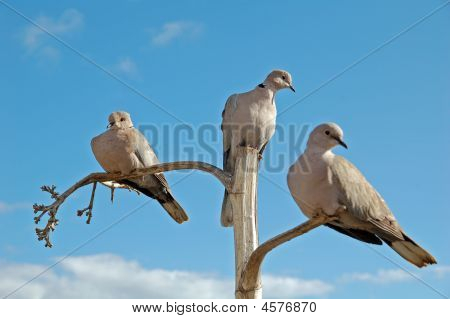 3 Doves Balanced On 3 Branches
