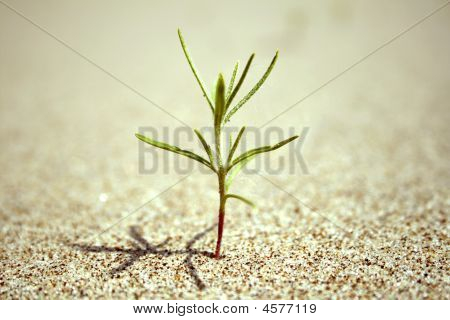 Green Bud Sprout In The Sand