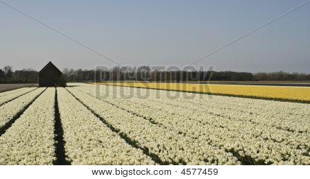 White Yellow Tulip Field