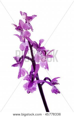 Wild Early Purple Orchid (Orchis mascula) isolated over white. Arrabida Sesimbra Portugal. poster