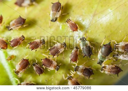 Aphids Colony