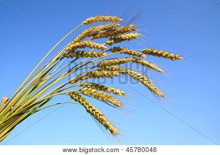 Stalks Of Ripe Wheat