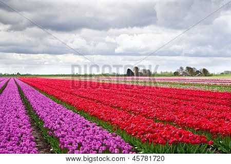 Field Of Violet And Red Tulips