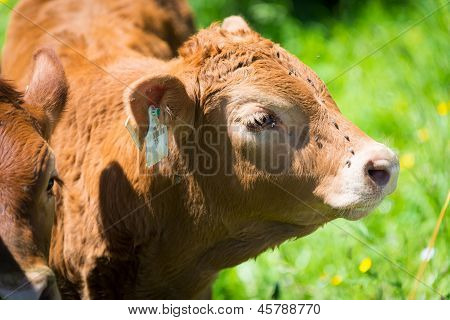 young brown cow from the side