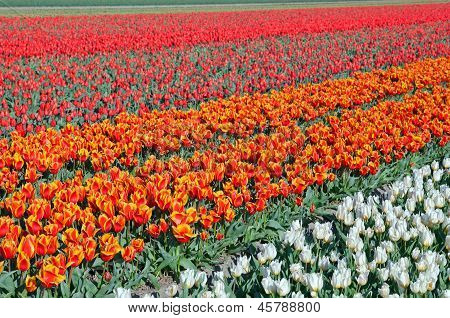 White, Orange And Red Tulips On Dutch Fields