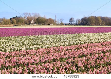 Field With Pink And White Hyacinth