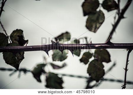 Thorns Macro