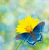 Red-spotted Purple Admiral on yellow Coreopsis flower, against dreamy blue and green bokeh background poster